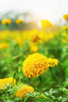 Marigold with nature and beauty.