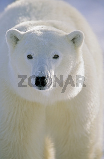 Polar Bear, Churchill, Manitoba, Canada.