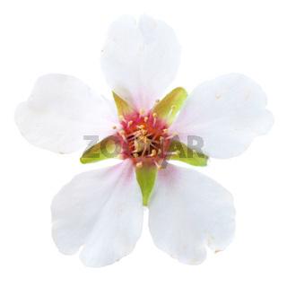 Almond white flowers