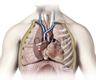 Man anatomy thorax cutaway with heart with main blood veins and arterias.