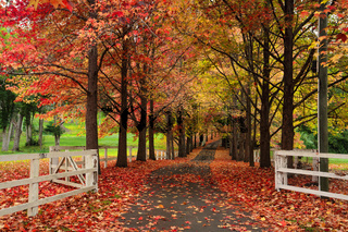 Maple lined drive way in Autumn