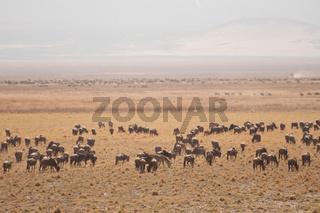 Herd of Gnu