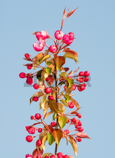 Flowering apple tree with pink blossoms