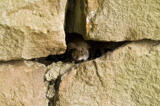 Feldmaus, Microtus arvalis versteckt sich in einer Mauerritze von Mauersteine