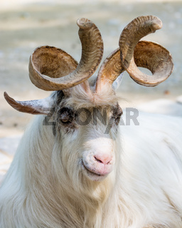 Portrait of a markhor goat