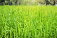 Green rice on field.