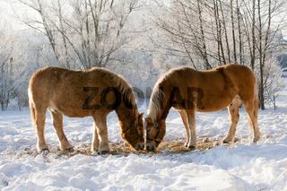 Zwei Pferde im Winter