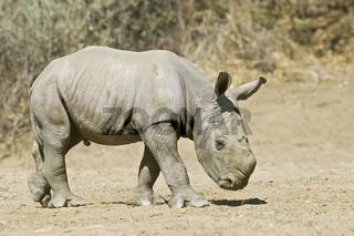 Breitmaulnashorn, Weisses Nashorn (Ceratotherium simum) 4 Tage altes Jungtier, Okapuka Ranch, Namibia, Afrika, young White Rhinoceros or Square-lipped rhinoceros, Rhino, Africa