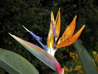 Paradiesvogelblume / Strelitzia