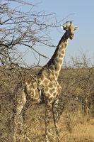 Somali Giraffe (Giraffa camelopardalis reticulata)