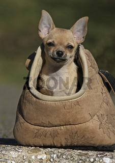 Kurzhaar Chihuahua Welpe