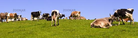 Kuhherde auf der Weide im Allgäu