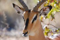 Namibia, Etosha, Impala