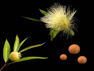 Rosenapfel - syzygium jambos - roseapple