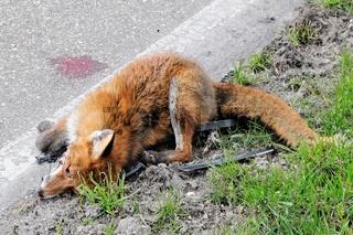Fuchs gegen Mobilität verloren Tod