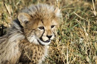 Geparde in Südafrika - Cheetah in South Africa
