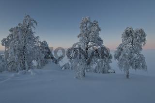 verschneite Birken, Lappland, Schweden