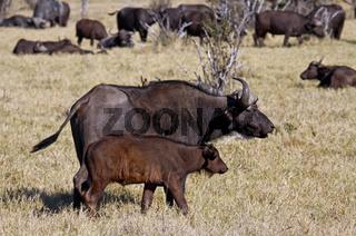 Kaffernbüffel, Syncerus caffer, mit Jungtier im Chobe Nationalpark, Botswana