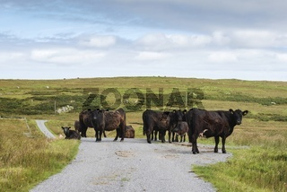 Rinderherde steht auf einer Straße, Isle of Islay