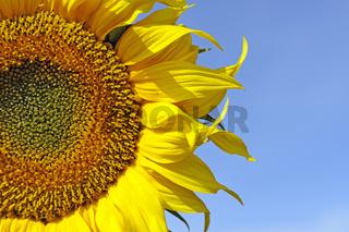 Sonnenblumen, Helianthus annuus