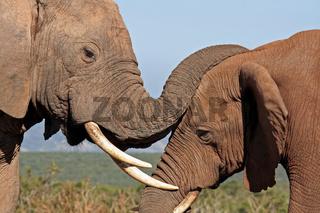 Liebevolle Elefanten, Südafrika