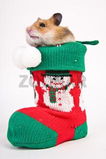 Goldhamster als Geschenk - Golden hamster as an  present