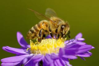 Biene auf einer Herbstaster