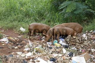 Schweine auf einer Müllhalde