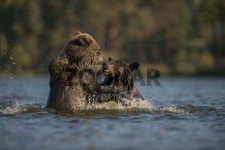 kühles Nass... Europäische Braunbären *Ursus arctos*