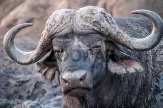 Buffalo starring at the camera.