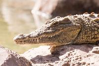 View on a lazy crocodile or alligator