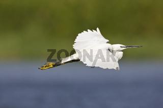 Seidenreiher, Reiher (Egretta garzetta) im Flug über dem Okavango, Botswana, Afrika, Little Egret, heron, Africa