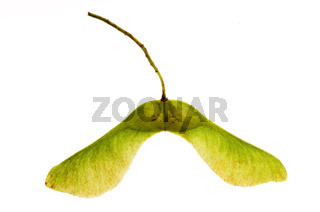 sycamore seeds on white background
