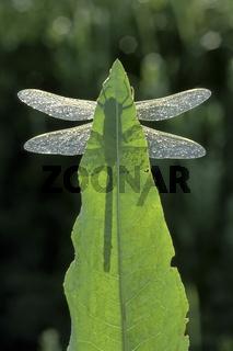 Grosse Koenigslibelle, Anax imperator, Emperor Dragonfly