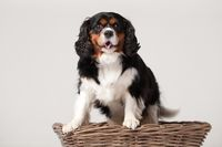 Cavalier King Charles-spani#195;#171;l in basket