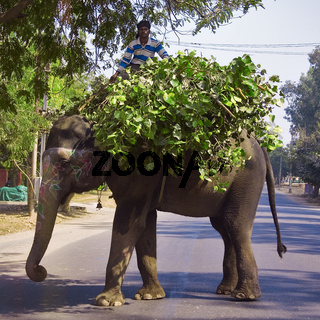 indischer Elefant transportier Futter, Nordindien, Indien, Asien - Indian Elephant transported feed, North India, India, Asia