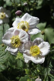 weiße Blumen, anemone