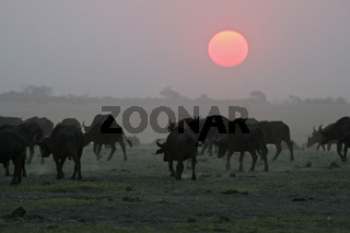 Afrikanische Bueffel, Kaffernbueffel Herde (Syncerus caffer) im Sonnenuntergang, Chobe National Park, Botswana, Afrika, Herd of african buffalos, Cape buffalos at sunset, Chobe River, Africa
