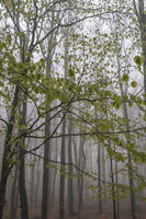 Buchenwald im Nebel, Erzgebirge