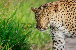 Close up of Leopard head.