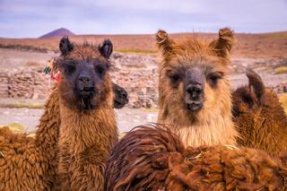 Brown lama alpaca herd