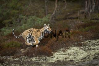 eilig unterwegs... Königstiger *Panthera tigris tigris*