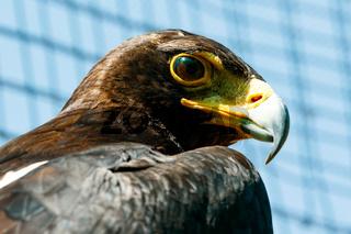 Brown Eagle Looking.