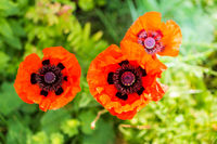 colorful flower - red poppy