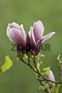 Magnolia liliiflora, Purpur-Magnolie, Nahaufnahme der Blüten