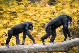Chimpanzee Pair III