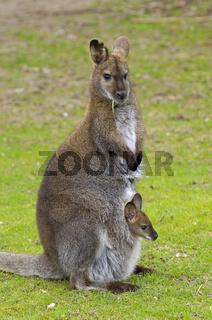 Bennett - Känguruh , Wallabia rufogrisea