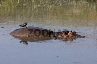 Flusspferd im Wasser mit Vogel auf dem Rücken, im Ngorongoro-Krater, Schutzgebiet