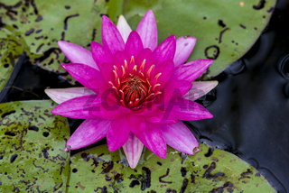 Nymphaea,seerose,wasserrose,Water-lilies,Nymphaea Escarboucle,