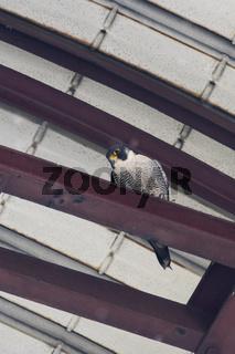 hoch oben im Förderturm... Wanderfalke *Falco peregrinus*